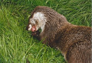 Loutre d'Europe - © Claire Brucy