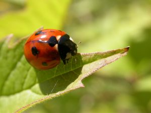Coccinelle - © Guillaume Allemand